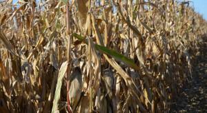 IZP: Kukurydza sucha po 670-760 zł/t, trudno liczyć na osłabienie cen