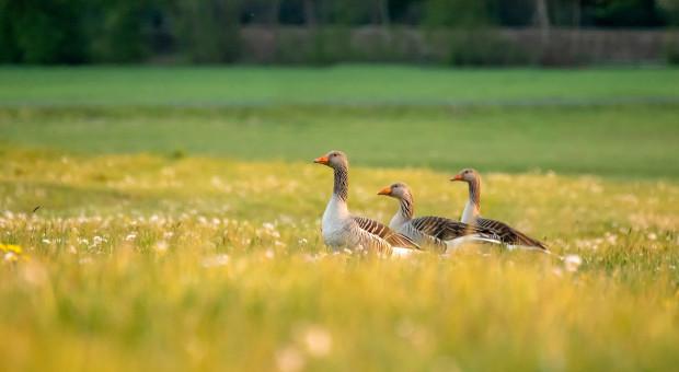 Trwa walka o ochronę plonów przed dzikim ptactwem