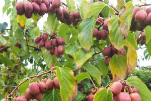 MiniKiwi: Owoców było mniej, ale zdecydowanie lepszej jakości