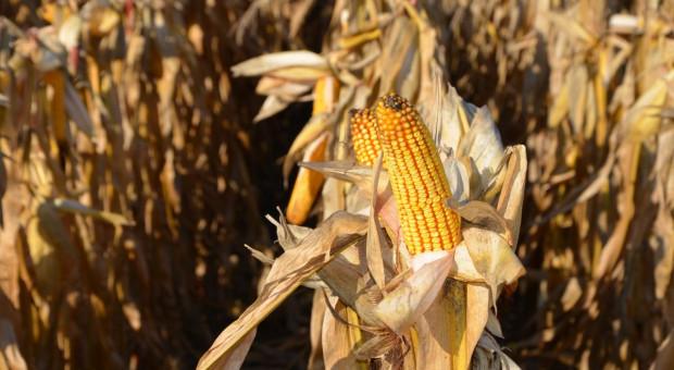 Żniwa kukurydziane ruszyły – jakie plony?