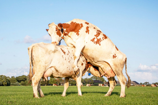Najczęściej występujące problemy związane zrozrodem krów mlecznych