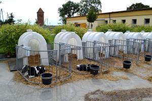 Odchów w budkach indywidualnych pozwala na ograniczenie rozprzestrzeniania się patogenów pomiędzy cielętami