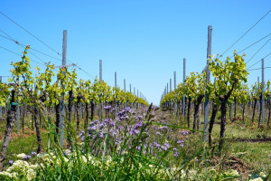 Informacja dla producentów wina