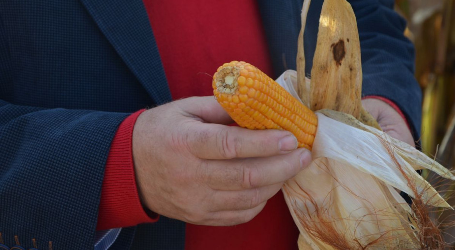 Jaki przebieg zbiorów kukurydzy – plon i wilgotność