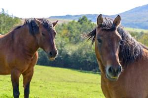 Wezbrana Odra uwięziła konie