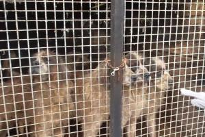Policjanci zlikwidowali hodowlę psów