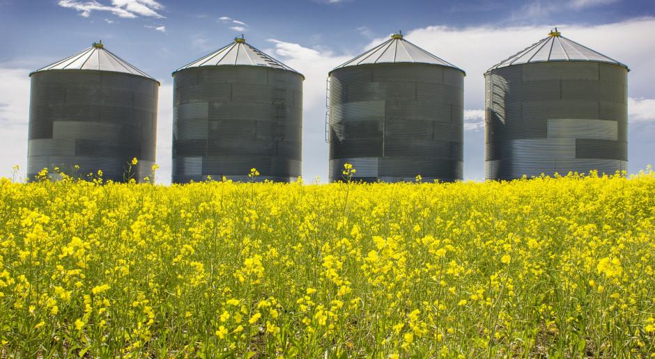 Giełdy krajowe: Ceny pszenicy ustabilizowały się
