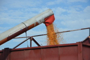 Coraz więcej dostaw kukurydzy. Ceny wysokie