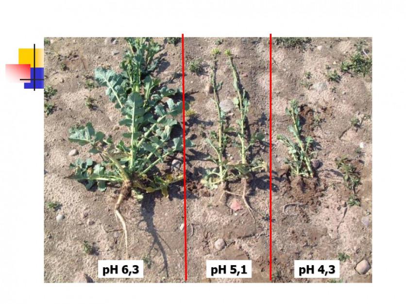 Wpływ pH na wzrost i rozwój rzepak Fot. W. Szczepaniak