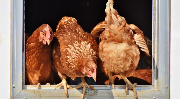 Grypa ptaków - apel ministra rolnictwa do hodowców drobiu!