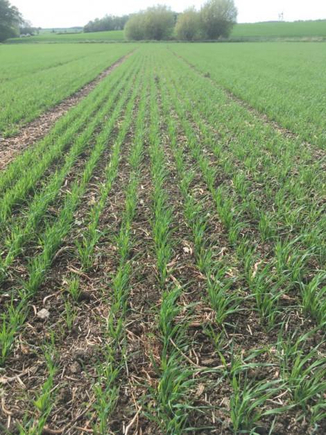 A tak wygląda pole zasiane siewnikiem U-drill z talerzami MD po skiełkowaniu nasion.