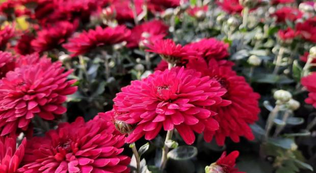 Od poniedziałku ARiMR i KOWR nabędą rośliny niesprzedane z powodu zamknięcia cmentarzy