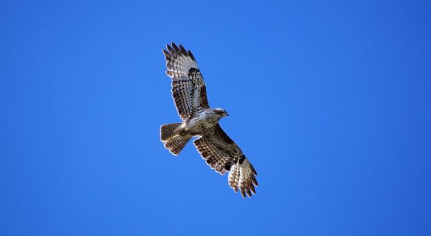 Grypa ptaków w Niderlandach i Niemczech