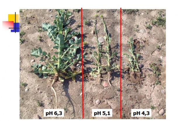 Wpływ pH gleby na system korzeniowy rzepaku Fot. W. Szczepaniak