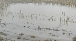 Przez deszcze znowu brakuje kukurydzy - cena rośnie