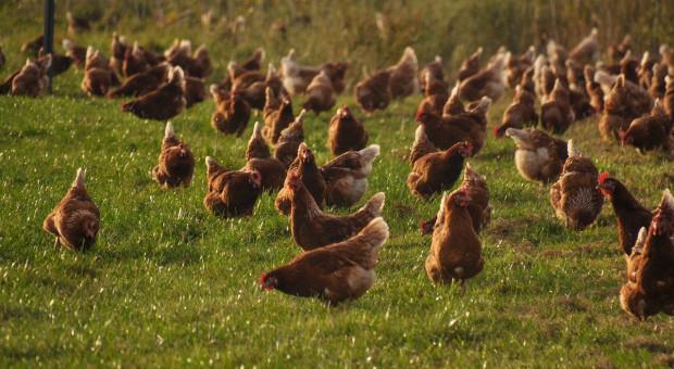 Niemcy: Pierwsze ognisko grypy ptaków