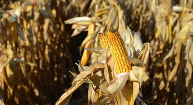 Plon kukurydzy uzależniony m.in. od typu gleb
