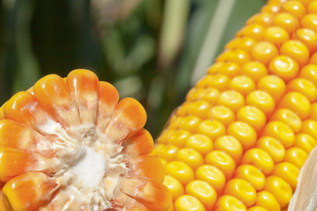 Wybieramy odmianę kukurydzy