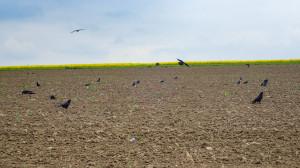 Ptaki w 2020 r. stanowiły duże zagrożenie dla kukurydzy