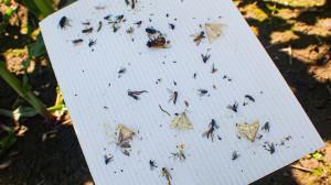 Motyle omacnicy prosowianki na pułapce feromonowej