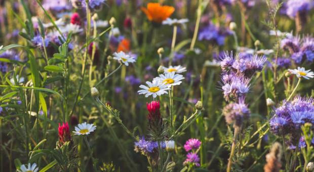 Metropolia apeluje o zakładanie łąk kwietnych