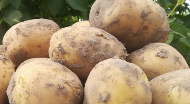 Ziemniak na przetwórstwo w koronakryzysie