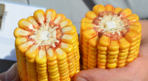 Rośnie cena pszenicy. Kukurydza bez zmian