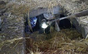 Krowa wpadła do kanału na gnojowice pod oborą, Foto: PSP Jarocin