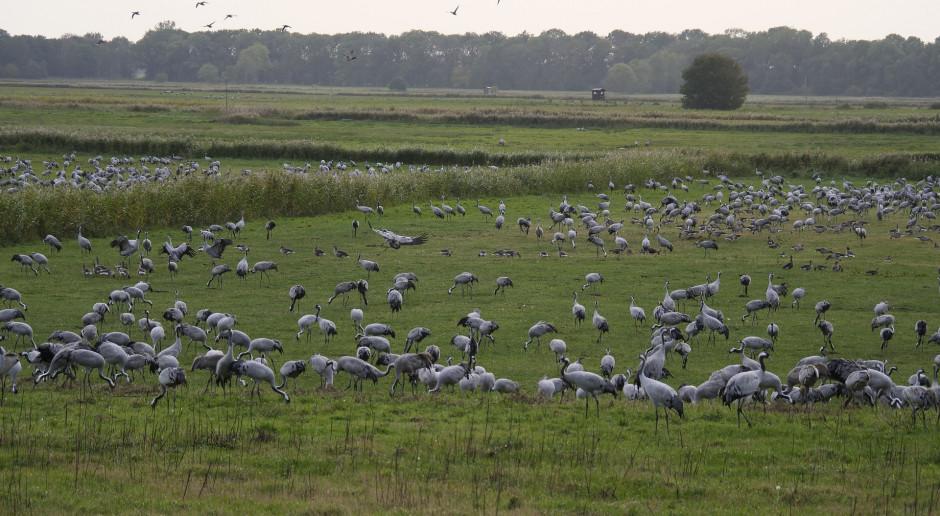 Dzikie ptactwo na polach: odszkodowań nie będzie, ale jest nadzieja