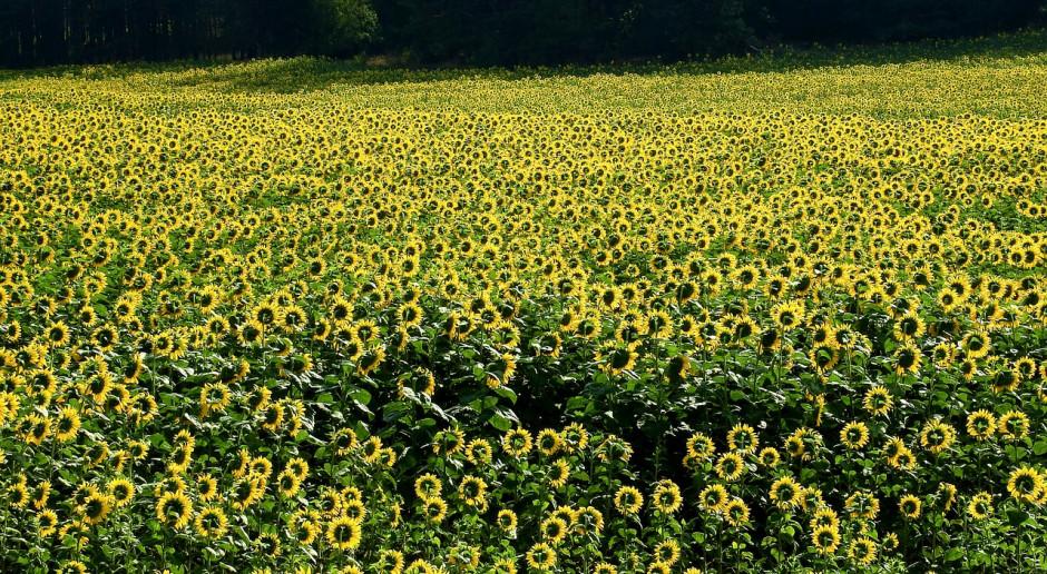 Ukraina wyeksportuje 200 tys. ton nasion słonecznika w 2020 roku