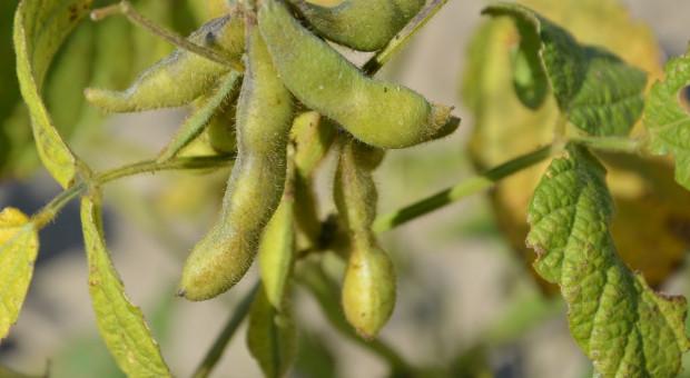 Apel o moratorium na zakaz stosowania pasz GMO na minimum 6 lat