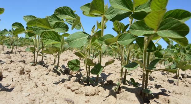 IZP: Odłożenie zakazu stosowania pasz GMO na dwa lata - niewiele zmieni