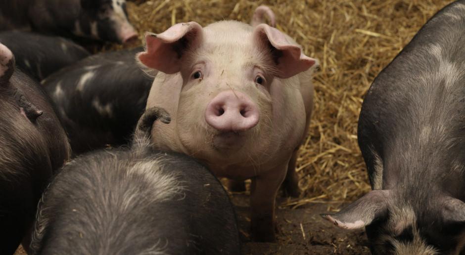 Zakłady mięsne zapchane wieprzowiną?