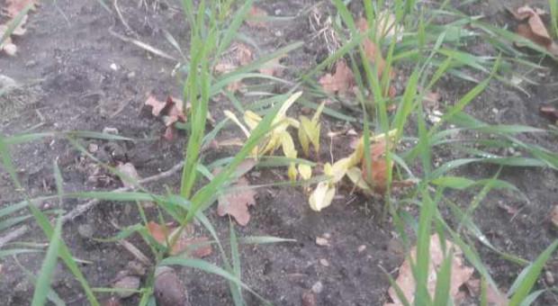 Samosiewy kukurydzy w listopadzie