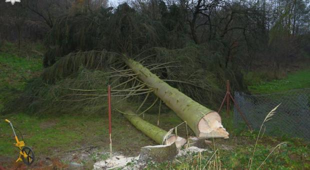 Mężczyna przygnieciony przez upadające drzewo