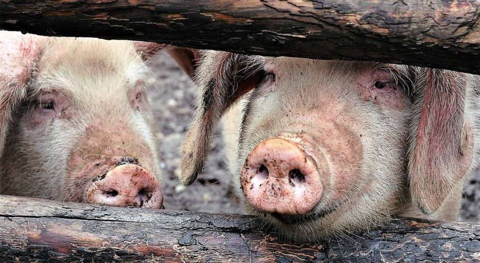 Chiny: Gwałtownie rośnie pogłowie świń