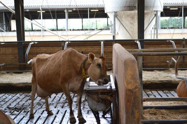 Woda w żywieniu bydła – najtańsza, a niezbędna