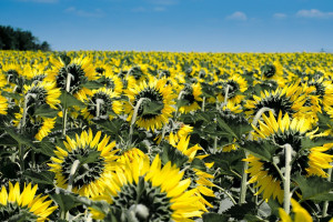 Nasiona oleistych: Ukraina mniejsze zbiory, Rosja większy eksport