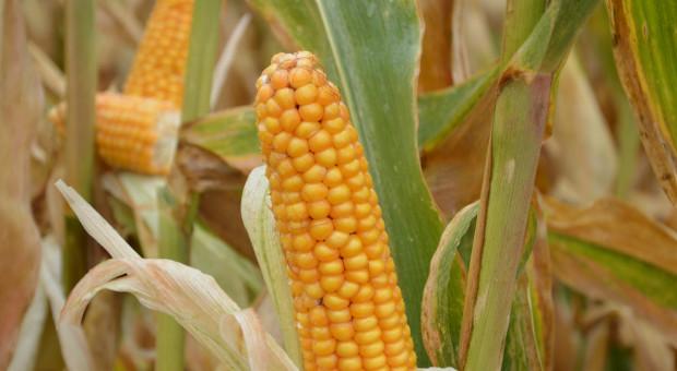 USDA obniża prognozę zbiorów kukurydzy na Ukrainie