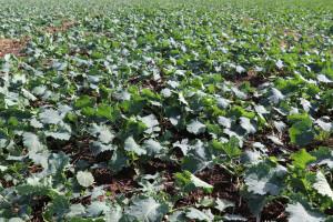 Rzepak okiem rolników - dane z różnych regionów Polski