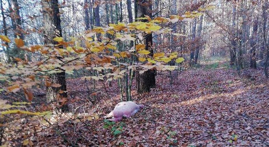 Ktoś podrzucił w lesie świnię