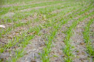 Zboża sąwpełni krzewienia, zobawy ostan fitosanitarny zastosowano zabieg T-0; Zdjęcia: archiwa prywatne rolników
