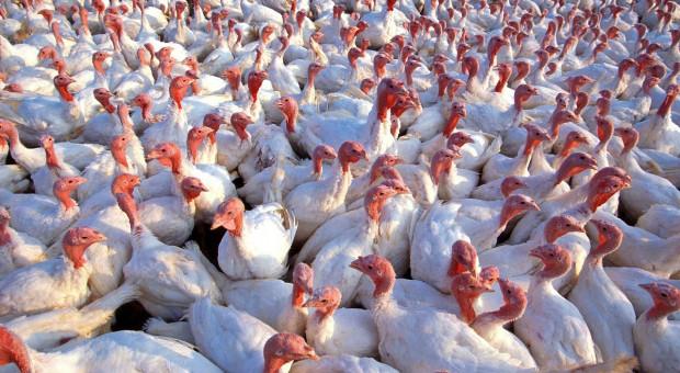 Grypa ptaków: nowe ogniska w Europie Zachodniej
