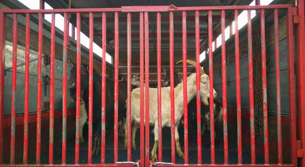 Zatrzymany tir z transportem zwierząt