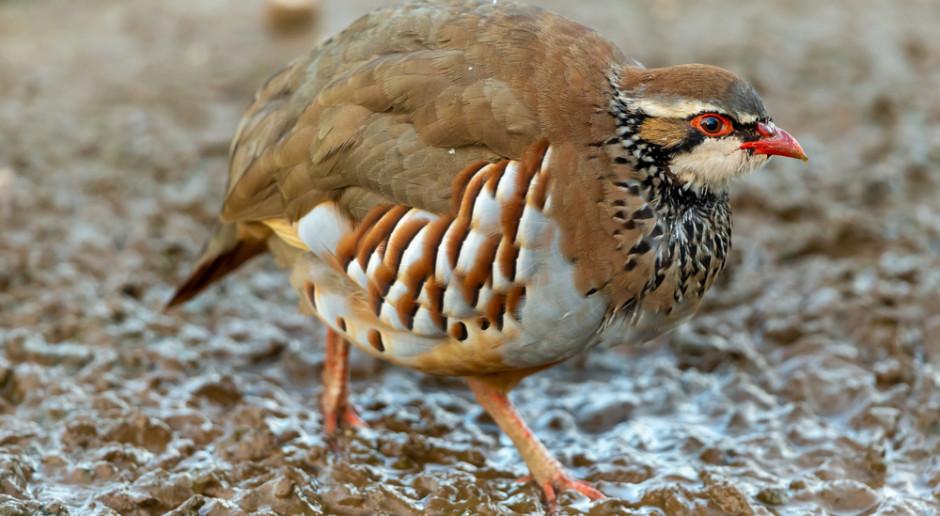 Niemcy: problemy z ochroną przyrody; giną czajki, kuropatwy i skowronki