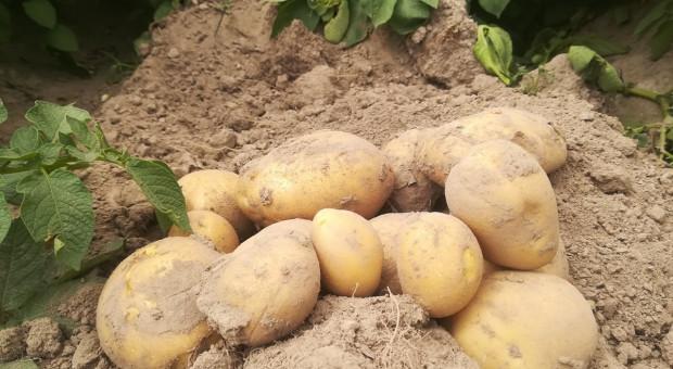 Ziemniak bardzo wczesny jak plonował w 2020r.?