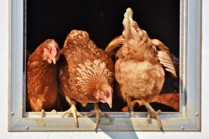 Węgry: z powodu ptasiej grypy zarządzono ubój ponad 100 tys. kur niosek