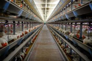 KIPDiP: Chów klatkowy przeniesie się do biedniejszych krajów