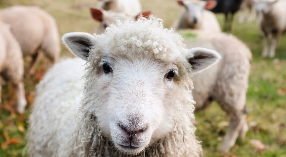 Hiszpania: Ponad tysiąc owiec przemaszerowało przez ulice Saragossy
