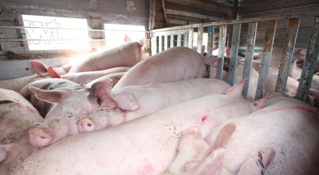Weterynaria skontrolowała transporty świń z Niemiec